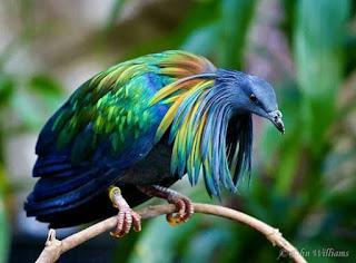 Foto de um Nicobar pigeon (Caloenas nicobarica). Em um fundo verde desfocado, um pombo de grande porte pousado em um galho curvo: cabeça pequena com plumagem curta e densa azul claro, que se alonga na região do pescoço criando uma espécie de manto em pontas em azul-verde-amarelo e cobre, olhos redondos escuros e expressivos, bico robusto e possui uma parte carnuda cerosa na base superior, asas fortes em azul-esverdeado metálico, cauda curta azul escuro brilhante, garras longas vermelhas arroxeadas e extremidades amarelas.No canto inferior direito o autor da foto: John Williams.