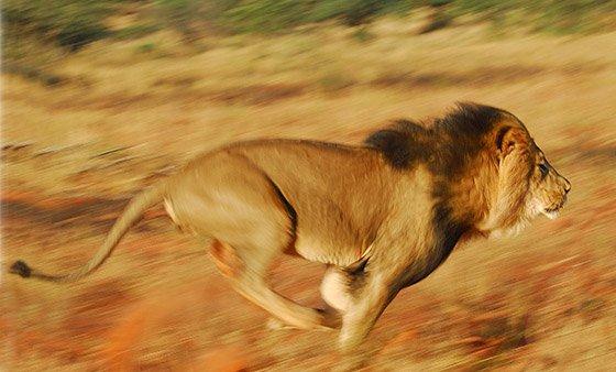 Female lion running