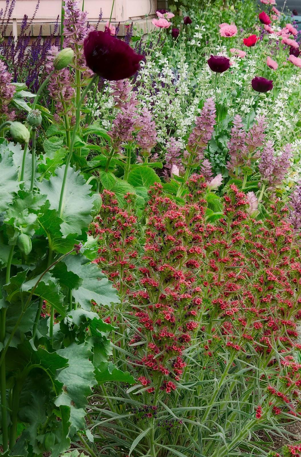 Linda cochran s garden echium wildpretii