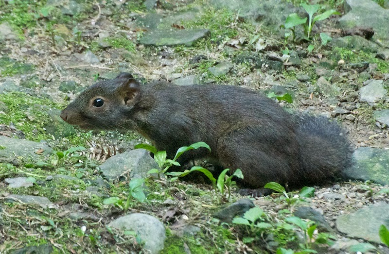 Perny's Long-nosed Squirrel (Dremomys pernyi owstoni)