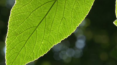 Backlit Leaf