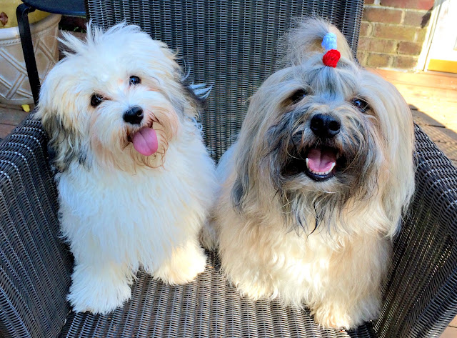 Havanese dogs Rocco and Sophie