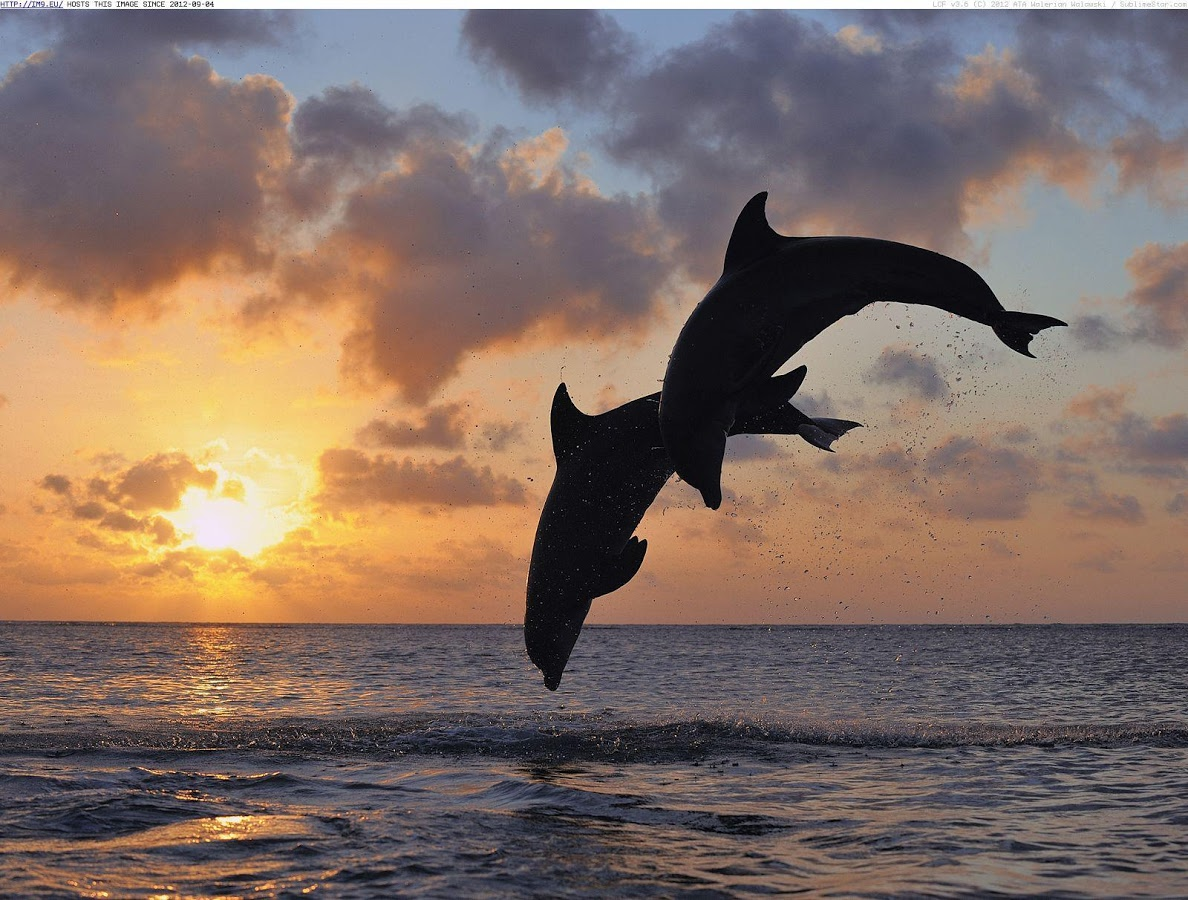 Dolphins High Resolution