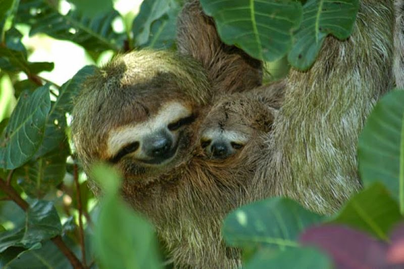 29. A mother sloth and her baby in the trees. - 30 Animals With Their Adorable Mini-Me Counterparts