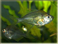 Indian Glassfish Pictures