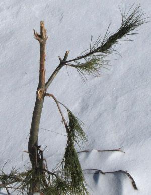 chewed white pine
