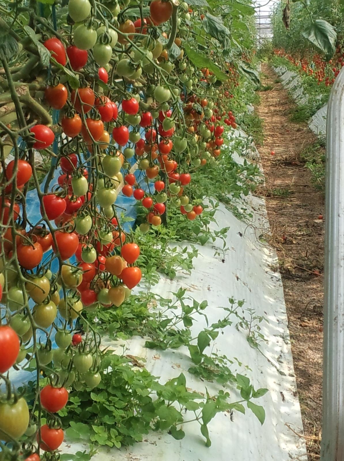 ミニ トマト の 栽培