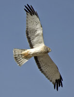 Male Northen Harrier