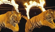 Animali al circo: schiavi per divertimento