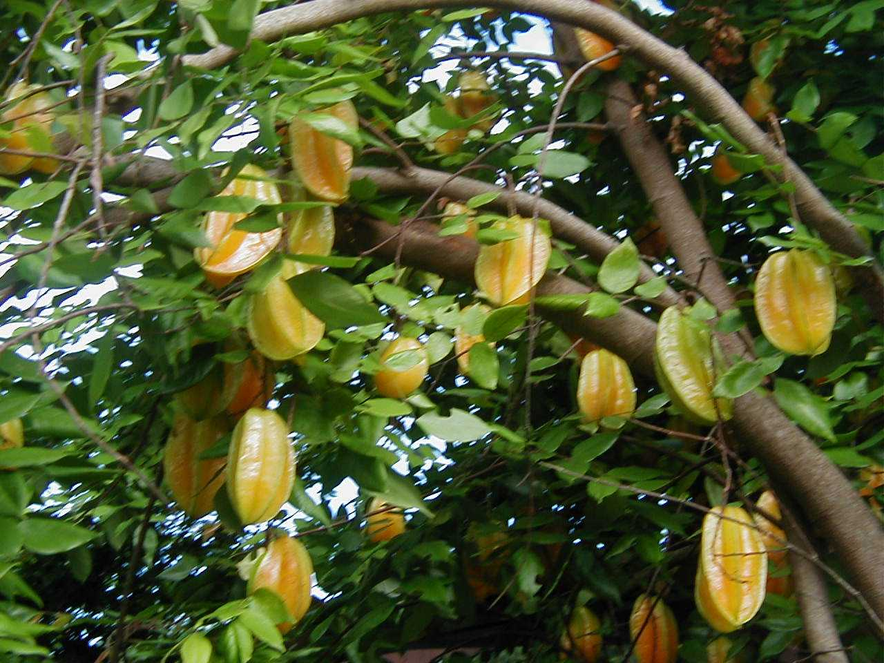 Khmer fruits welcome to khmer fruits for Fruit trees