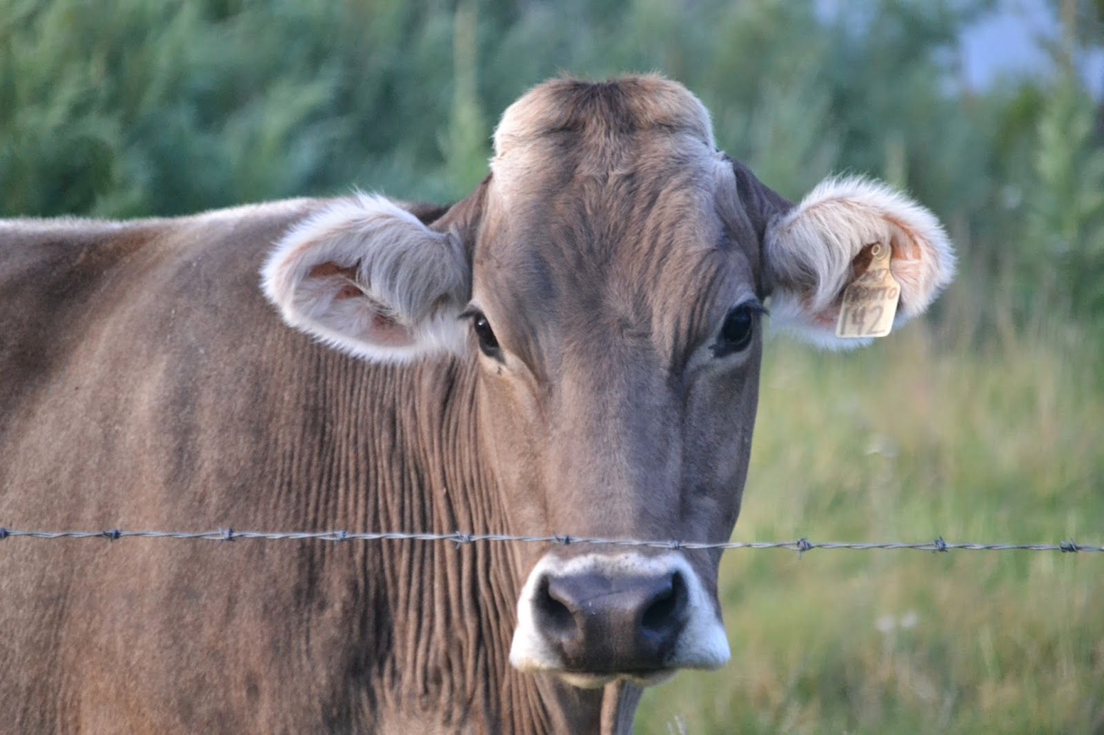 Cached Brown swiss cow pictures