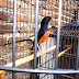 Dasar2 merawat burung..