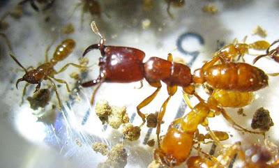 Dorylus laevigatus ants