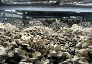 Maitake mushroom contributes to the activation of white blood cells to balance the function of the immune system.