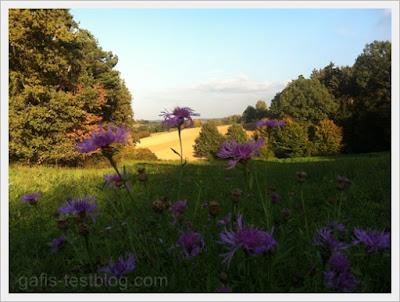 Flockenblumenwiese im Herbst