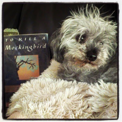 A fuzzy grey poodle--Murchie--lays on a fuzzy, cream-coloured pillow. His head is twisted to view something outside the right side of the frame. To his right (our left) sits a hardcover copy of To Kill A Mockingbird. It's primarily black with a small, square inset featuring a tree with pale green leaves against an orange background.