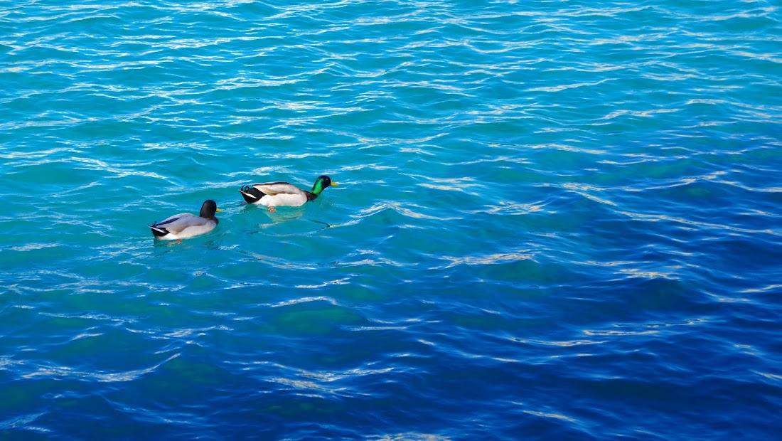Stockenten im Meer (Tricase Porto, Apulien)