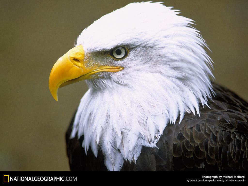 http://1.bp.blogspot.com/-2MjrMnrIHJs/TpdLmpWZMbI/AAAAAAAABcw/WDlulaPoSnk/s1600/Bald-Eagle-Wallpaper.jpg