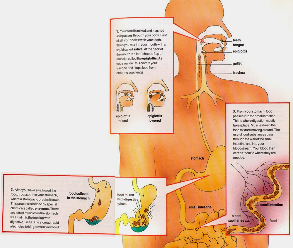 Digestive System For Kids - How does the Digestive System ...