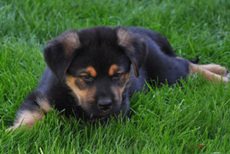 German Shepherd And Rottweiler Puppy