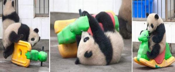 Panda kecil terpeleset