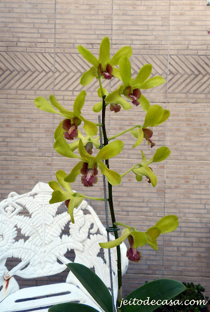 orquidea denphal