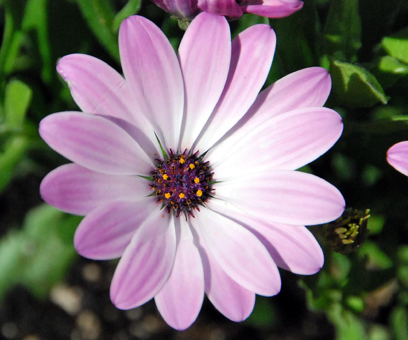 Fotos de flores: MARGARITAS DE VARIOS COLORES