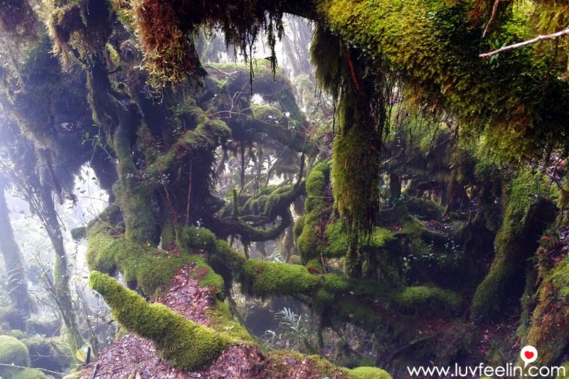 Cameron Highland Mossy Forest