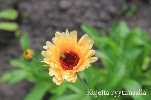 Kehäkukka edullinen koristekasvi
