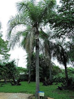 Jerivá no Espaço Botânico do Ecomuseu de Itaipu.