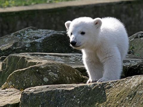 北極熊克努特 4歲2