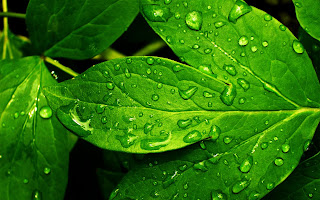 Rain Drops on Leaves Plants Close Up Photography HD Wallpaper