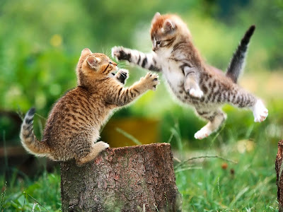 Two cats fighting wallpaper