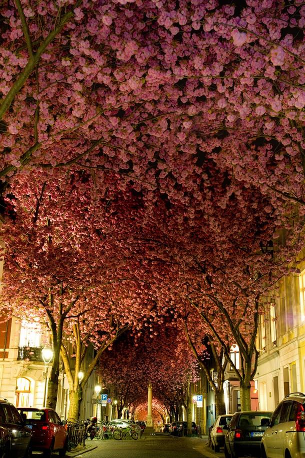 A carpet of cherry blossom