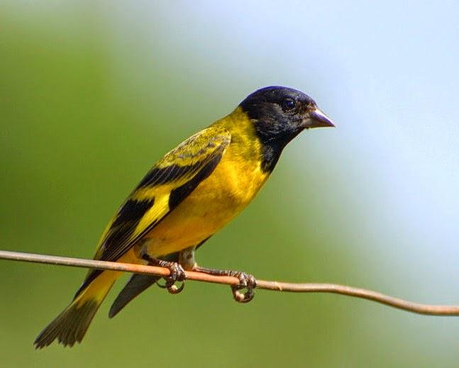 Canarios: El Cabecita Negra común