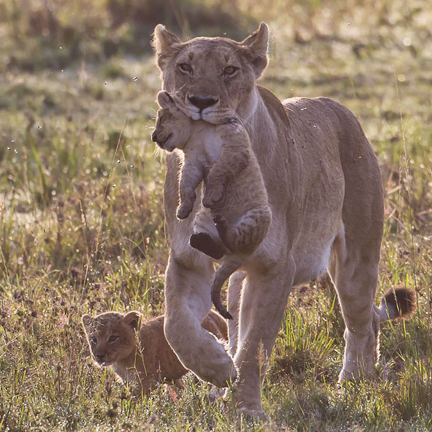 Encyclopaedia of Babies of Beautiful Wild Animals: The Lion Cubs