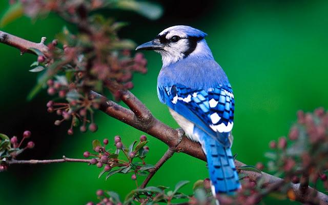 Passaro Blue Bird