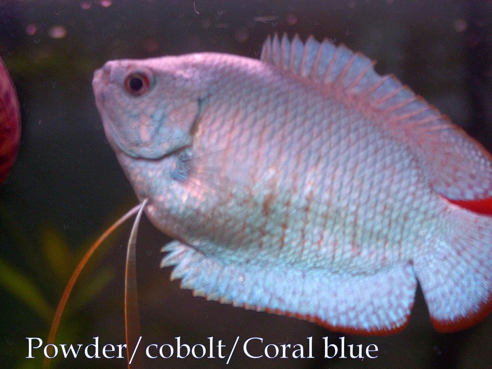 neon blue dwarf gourami - HD1600×1200