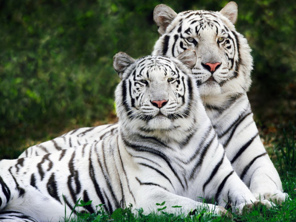 Popular Wallpaper High Quality Tiger - Best%2BHD%2BTiger%2BHigh%2BRegulation%2BPictures%2B%2526%2BWallpapers%2BFree%2BDownload%2B%25284%2529  Image_964926.jpg