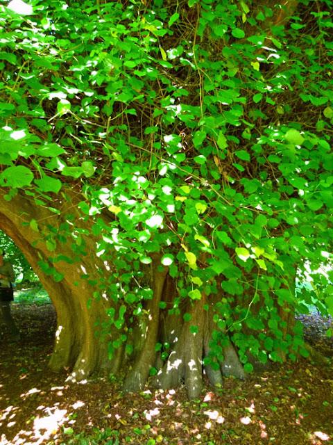 Great Holker Lime Tree, Holker Hall