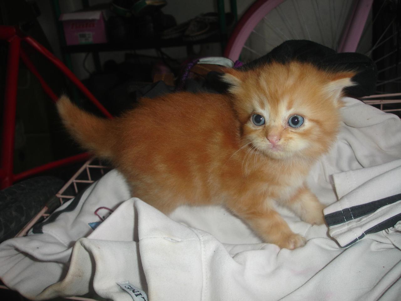 Hamster Dan Kucing Persia Murah Surabaya Di Jual Kitten