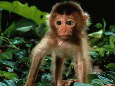 Khỉ con ngộ nghĩnh, khỉ con đáng yêu