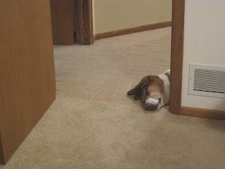 basset hound looking through door