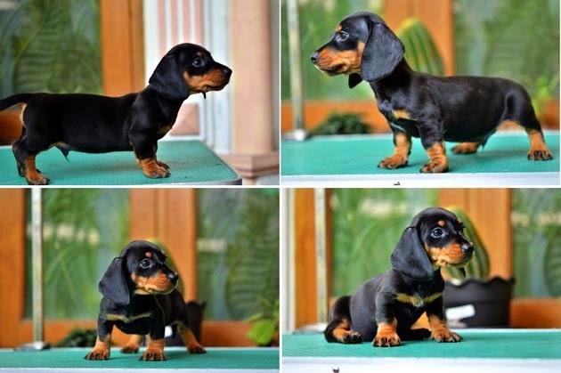 Puppies Teckel biasanya lahir sebanyak 3-7 ekor.
