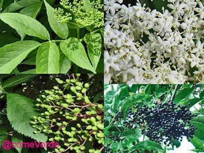 Sambucus nigra, hojas, flores y fruto