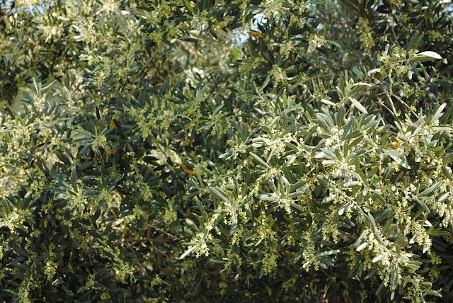 Οδηγίες φυτοπροστασίας Ελιά 26-5-2015