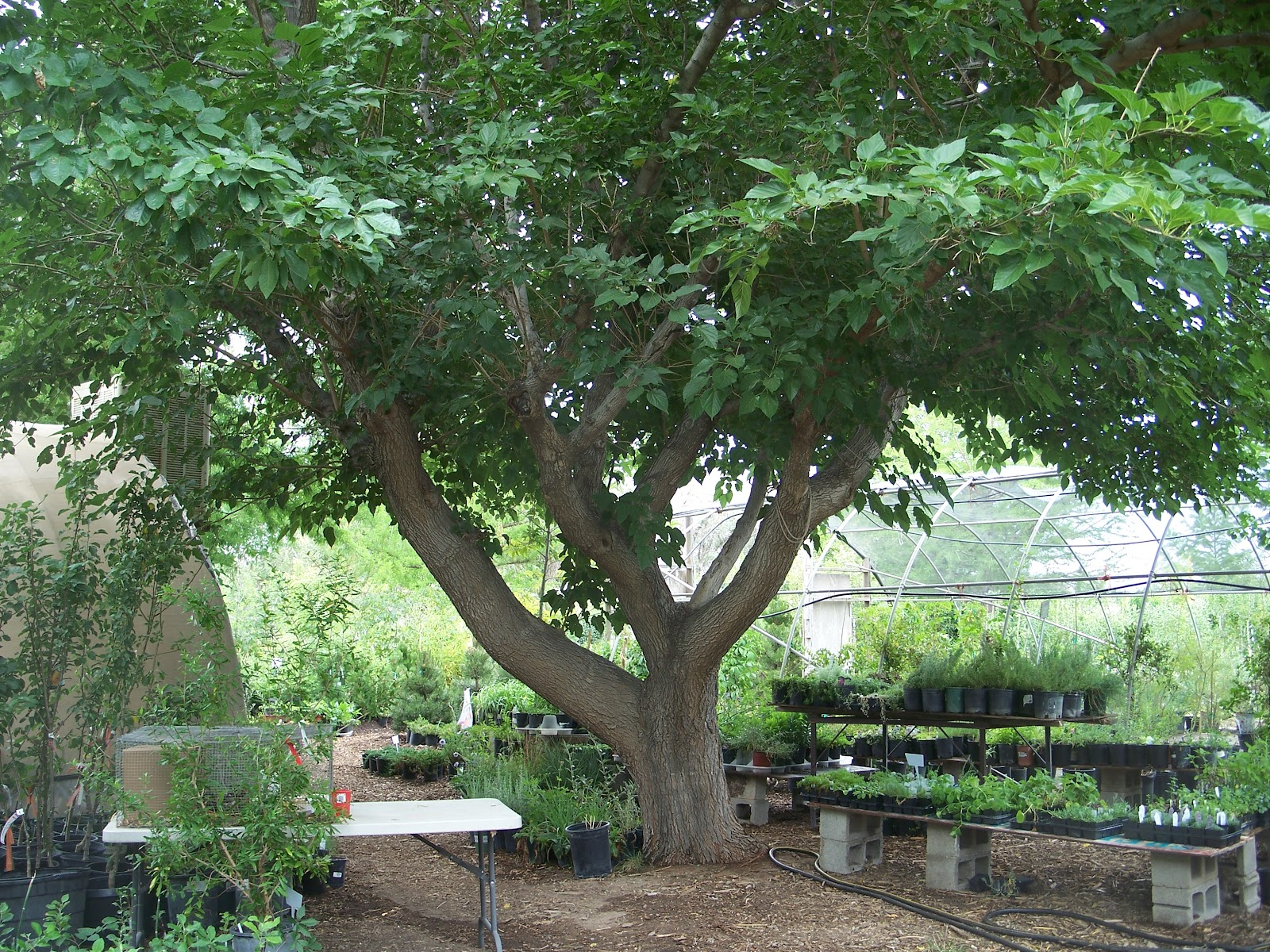 Trees that please nursery june 2012 for Canopy of trees