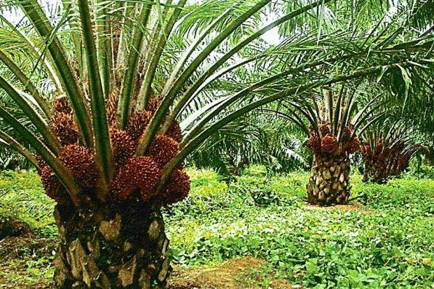healthy fruit preserves palm fruit oil healthy