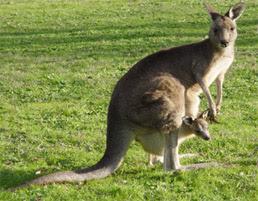 Gambar Binatang Australia