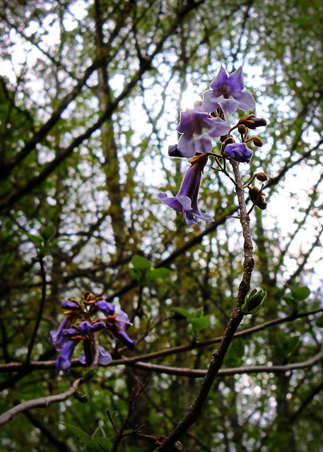 paulownia princess tree West Virginia photography